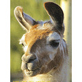 Mona Llama Pankey Wildspirit Wildlife Animal
