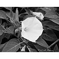 Datura Blossom flower deadly Black_and_white