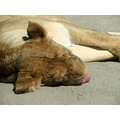 Such a hard day... a lioness napping and enjoying the warm spring weather
