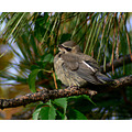 cedar waxwing young bird