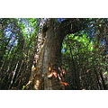 ketchikan alaska tongass rain forest red cedar giant tree