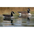 reflectionthursday wey surrey canada geese