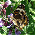 buckeye butterfly nature insect