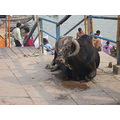 Bull at Holi City Benaras