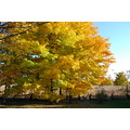 Maple trees changing colour