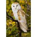 miles herbert nature landscape wildlife captivelight barn owl