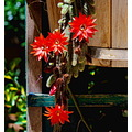 cactus flowers red wood