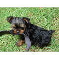 Animals Yorkshire Terrier