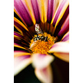 nature flower closeup hoverfly insect magenta orange yellow reflections