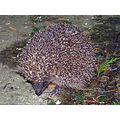 hedgehog wildlife night