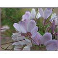 This is Cleome.  I planted some last year and since the plant produces thousands of seeds per pla...