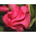 flowers nature life stuff bored things garden roses rossetta