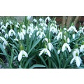 snowdrops galore!