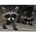racoons and cereal