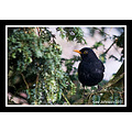 Wildlife Natural HIstory Blackbird Spideylj