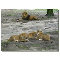 netherlands arnhem zoo animal lion nethx arnhx zoox animx lionx