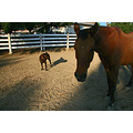 animals dog horse corral Calif shadows
