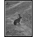 nature field path road bush rabbit ultrazoom bw
