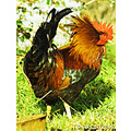 poultry hen cockerel rooster feather plumage bird feathers