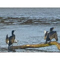 cormorants drying there wings
