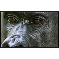 Animal Gorilla eyes