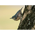 nuthatch bird birding nature hogan d300 nikon sandyhills