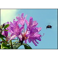 rhododendron flower bee