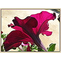 The back side of a deep hot-pink petunia with the sun shining through the petals.  The fragrance ...