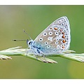 Peak District Derbyshire Common Blue Butterfly