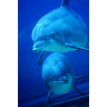St Valentines Grimacher Pondy dolphin love couple Italy Genova acquarium