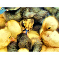 duckling nature
