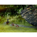 wildlife ducks nature