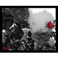rose red black and white bw romantic framed mati