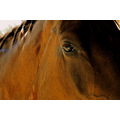 horse eye wild stallion animal gaze look