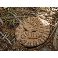 Great Basin rattlesnake (pastel male)