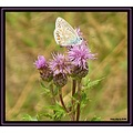 butterfly thistles