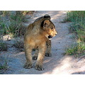 AntelopePark Lions Cubs WorkingwithLions Zimbabwe