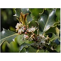 Holly is a favourite at Christmas, with little else signifying the spirit of Christmas more than ...