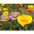 Seaside Daisies with California Poppies, August 7, 2008