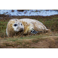 seal pup donna nook cute sweet wagtail nature wildlife