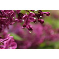 Taken 4/19/2013, Lilac and Waterdrop full size shot containing the previously uploaded image, at ...