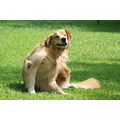 dog kobi golden retriever