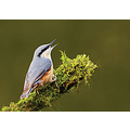 Wildlife birds Nuthatch