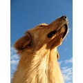 dog hovawart sky animal pet