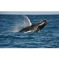 MYBEST2010PHOTOFRIDAY humpback whale Samana Dominican Rep