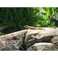 alligator lizard burdell