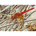 Cardinal Meadowhawk, September 3, 2008