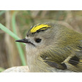 goldcrest regulus bird birds nature macro wildlife
