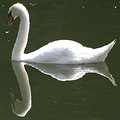 reflectionthursday swan luxembourg