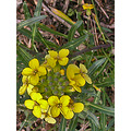 botanical garden park yellow yellowfph wildflower ucbbotfph